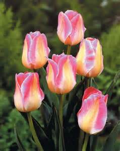what color are tulips quot show quot tulip