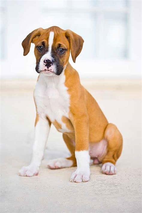 boxer dog names popular male female boxer names