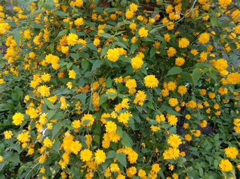 Bando Korea Green Flower bush with yellow flowers and green leaves stock photo image of flowers bush 70408980