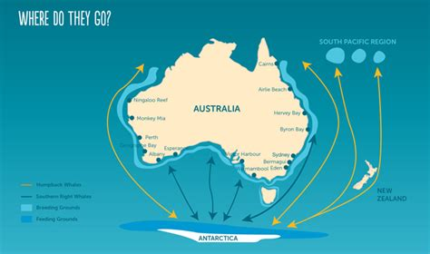 migration pattern of blue whale whale migration wild about whales nsw national parks