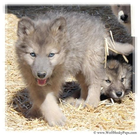 wolf hybrid puppy wolf hybrid puppies for sale check us out in hoobly