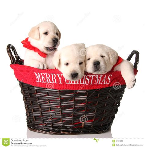 christmas puppies stock image image  tired sleeping