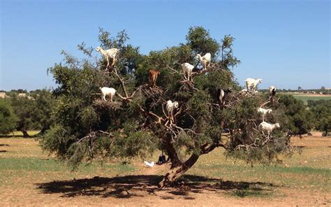 bound in morocco a story of intrigue and subterfuge set in morocco books the tree goats of morocco tamri morocco atlas obscura