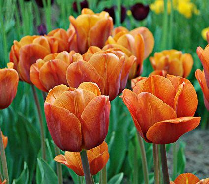 tulip cairo white flower farm