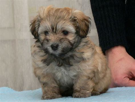 havanese puppies adelaide adorable havanese puppy for rehoming adelaide dogs for sale puppies for sale