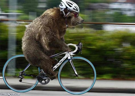 bear on a bike grizzly bear riding a bicycle pictures freaking news