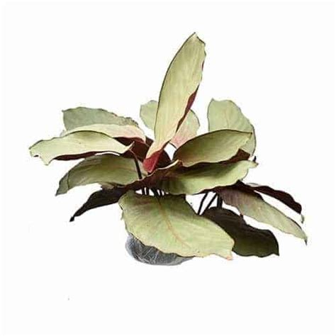 Bibit Tanaman Hias Calathea Peacock Plant Jual Tanaman Calathea Silver Plate Bibit