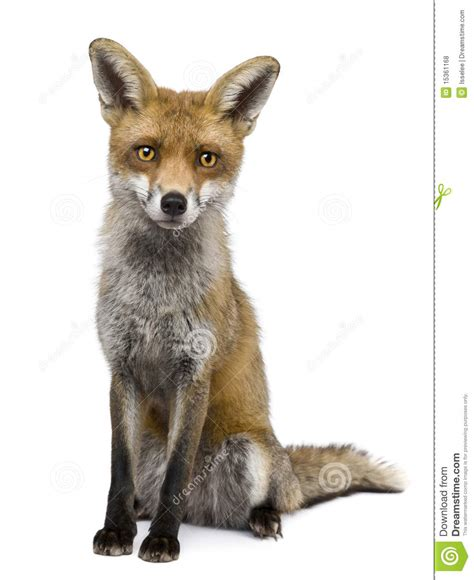 one fox front view of fox 1 year sitting stock photo