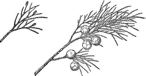 branch  weeping juniper clipart