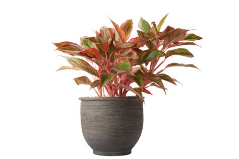 watering chinese evergreen plant care chinese evergreen