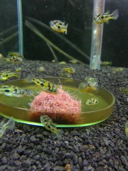 Pakan Ikan Hias Aquascape mini puffer ikan hias aquascape aquajaya