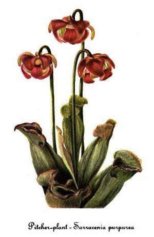 purple pitcher plant sarracenia purpurea loyloydia