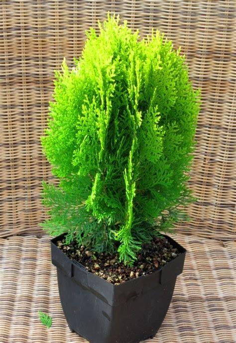 langsam wachsende thuja thuja aurea nana goldener zwerg lebensbaum