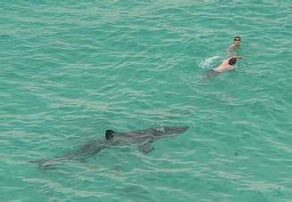 shark feeding is related to shark attacks | miami, florida