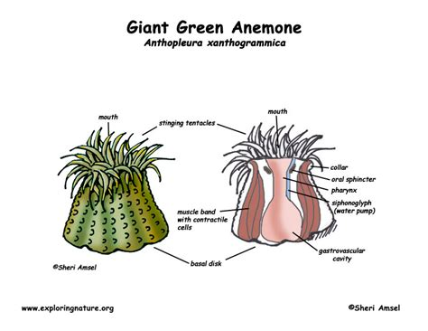sea anemone diagram class anthozoa sea anemones corals