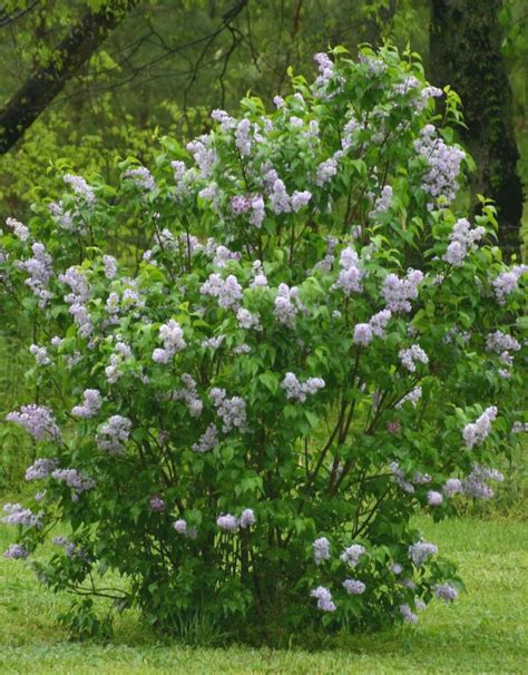 lilac bush the little dog shelter in the holler look who came to the