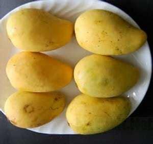 Bbit Mangga Chokanan jual bibit unggul tanaman mangga chokanan bibit