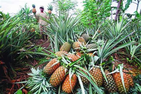 Bibit Nenas bangle ciri tanaman serta khasiat dan manfaatnya situs