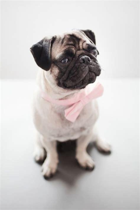 pug tie pink bow tie pug pugs rule