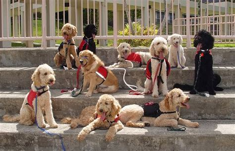 how to service dogs as a career service dogs of hawaii fi do session working dogs photo