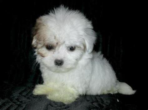 shih tzu puppies bay area dogs breed shih tzu poodle mix gender age baby shih tzu poodle san