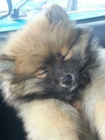 wolf colored pomeranian pomeranians wolves and on