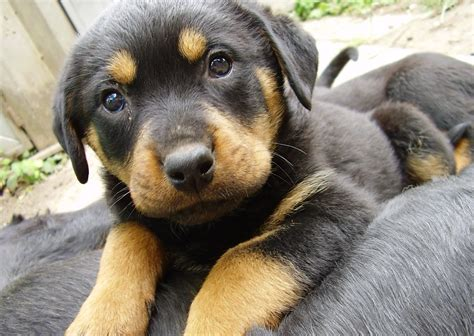lifespan of a rottweiler pictures of rottweilers image gallery on animal picture society
