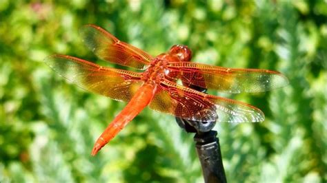 Common Dragonflies Of California skimmer dragonfly in sonoma california
