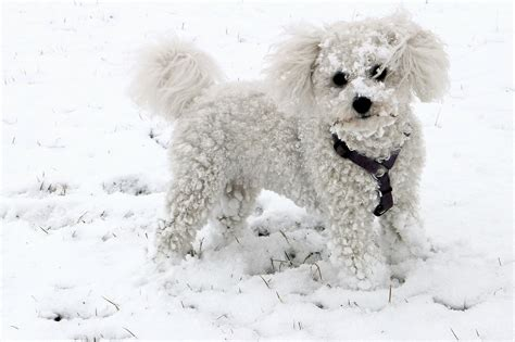small dogs for best small hypoallergenic dogs for adoption vills