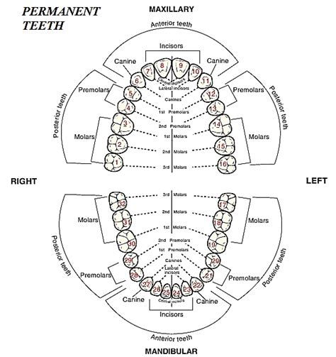 diagram of the tooth numbering system fig 4 the occlusal and incisal surfaces of the maxillary