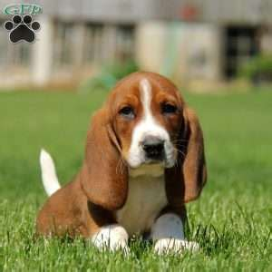 basset hound puppies for sale in pa basset hound puppy www pixshark images galleries with a bite
