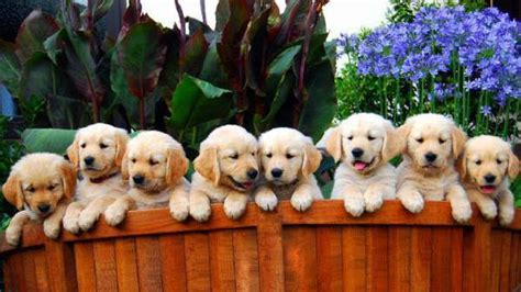 golden retriever litters golden retriever litter size many