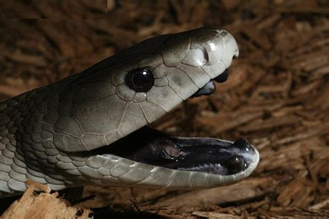 wallpaper black mamba top 16 most dangerous black mamba snake wallpapers in hd