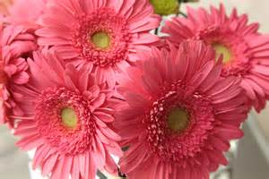 Gerber Daisies by Gerber Daisy Related Keywords Amp Suggestions Gerber Daisy