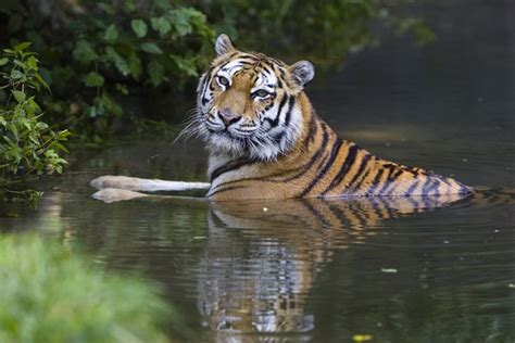 what are the different types of tigers living tiger subspecies pictures national geographic animals