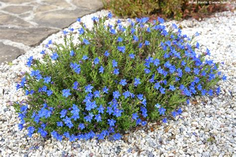 Low Beds by Lithodora Diffusa Heavenly Blue Havlis Cz