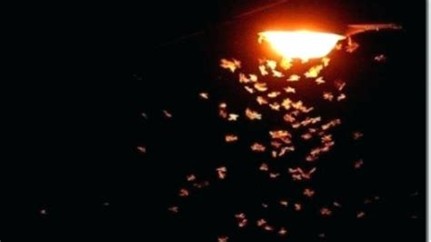 are bed bugs attracted to light bug attracted to light why are bugs attracted to light