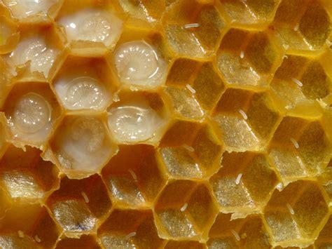 film larva bau mulut honey bee eggs in the brood nest honey bee suite