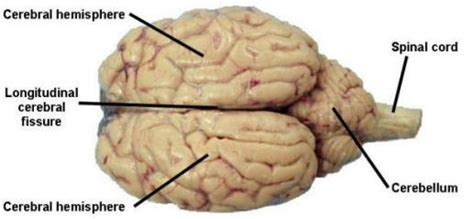 sheep brain diagram sheep brain dissection labeled diagram www pixshark