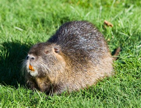 new year water rat an invasive menu termites and water rats to save