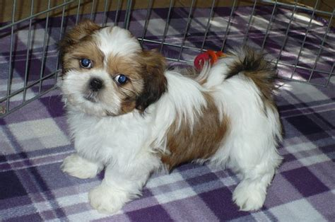 shih tzu puppies for sale arizona view ad shih tzu puppy for sale arizona tucson usa