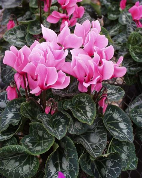Small House Dogs by Cyclamen Persicum Florist S Cyclamen Or Shooting Star