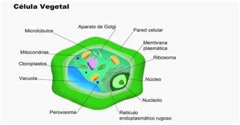 fotos de celulas animais diferen 231 as entre c 233 lula animal e vegetal