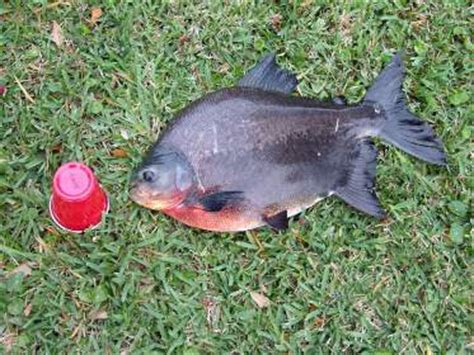 Belly Fish Net belly pacu