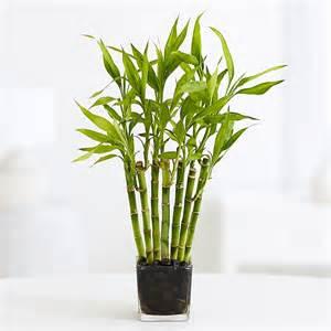bamboo plants bonsai trees