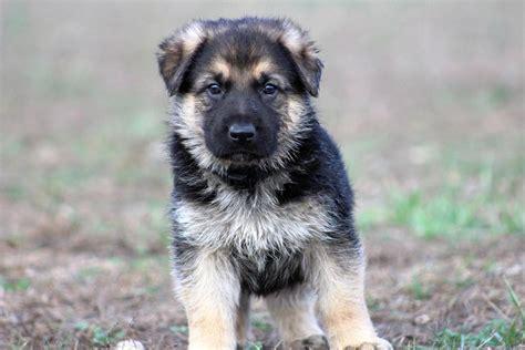 puppy classifieds german shepherd puppies in hoobly classifieds