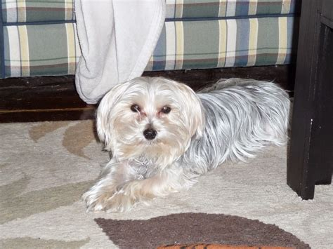 morkie haircuts pictures morkie dogs haircuts