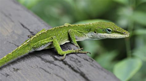 lizard images file anole lizard hilo hawaii edit jpg