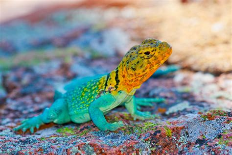 colorful lizard wallpaper crotaphytus collaris mexico lizard colorful