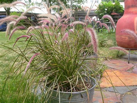 fountain grass plants how to winter over fountain grass